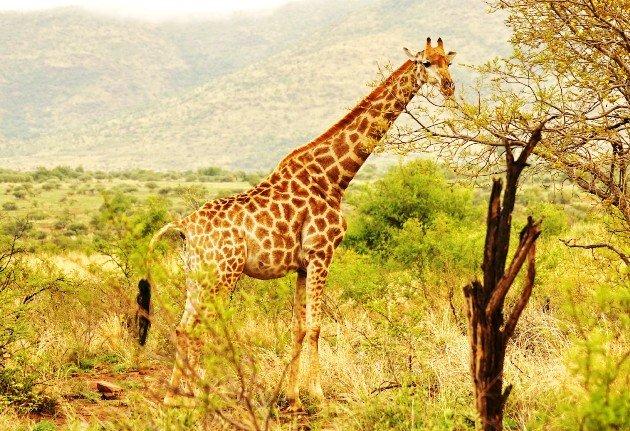 Giraffe - DSDS 2018 Ausland-Recall