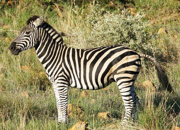 Zebra - DSDS 2018 Ausland-Recall